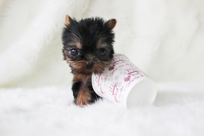 Yorkshire terrier, (Tina) ♀